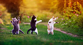 istock three agile cats in the summer in a sunny meadow they play on the green grass and stand funny dancing 1300278981