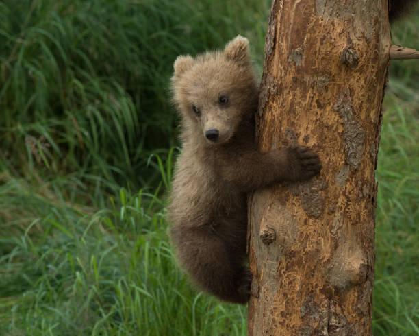 Three Alaskan brown bear cubs stock photo