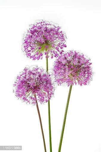 Three allium flowers isolated on white background