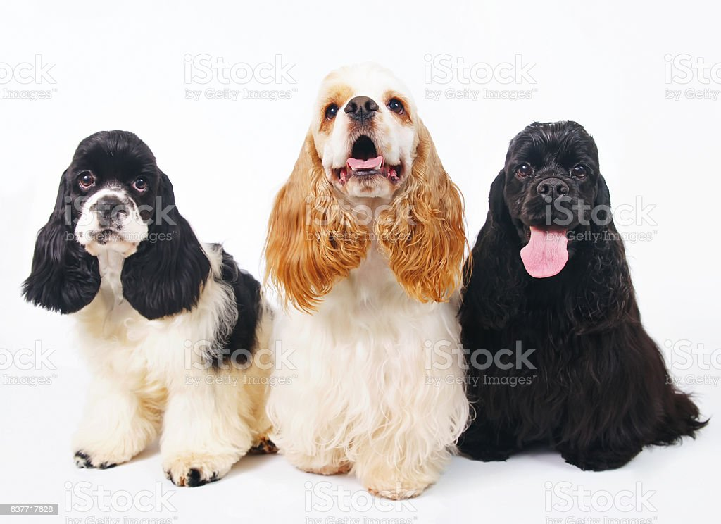 Three American Cocker Spaniel dogs posing indoors on white background stock photo