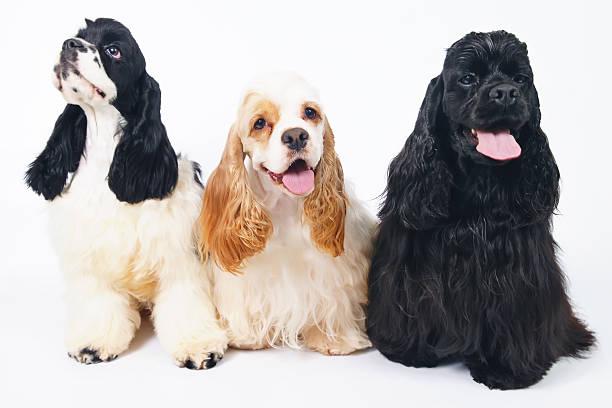 three american cocker spaniel dogs posing indoors on white background - amerikanischer cocker spaniel stock-fotos und bilder