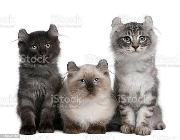 Three american curl kittens 3 months old sitting picture id119403202?b=1&k=6&m=119403202&s=612x612&h=rpfydxtxnelxqneibh4fkfxu7ioglvblfzthbrq3oyi=