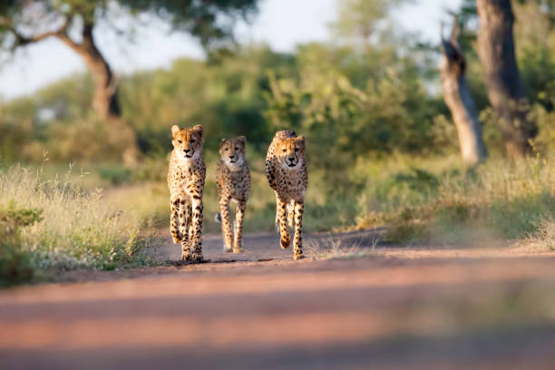 Three Amigos Three young Cheetahs. Taken in Kruger, South Africa kruger national park stock pictures, royalty-free photos & images