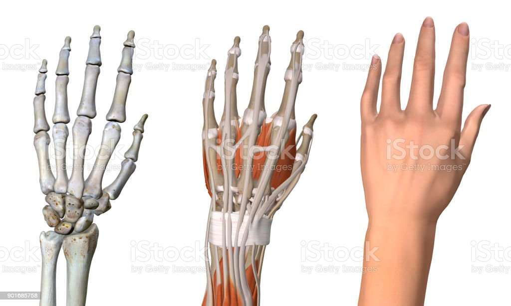 Three Anatomical Dorsal Views Of Female Left Hand On White Stock ...