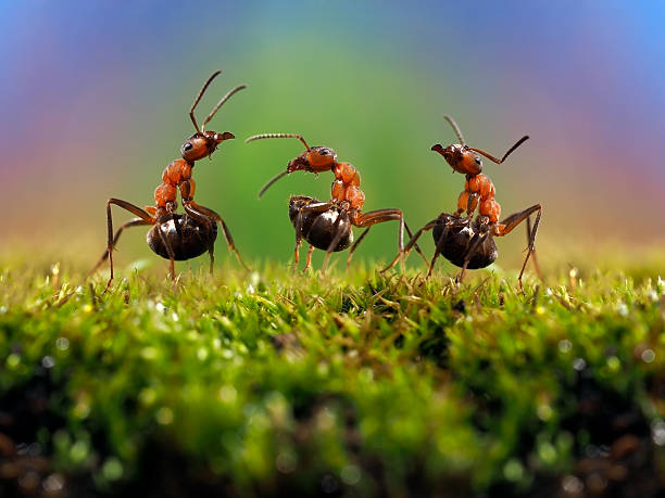 Three ant. Conflict, ants fight. Three ant. Conflict, ants fight. Conceptually - dialogue, conversation, meeting, showdown, difficult negotiations. Beautiful rainbow background. Ants large, raised abdomens formic acid stock pictures, royalty-free photos & images