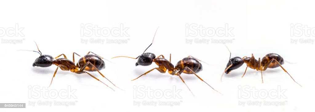 three ant on white background stock photo