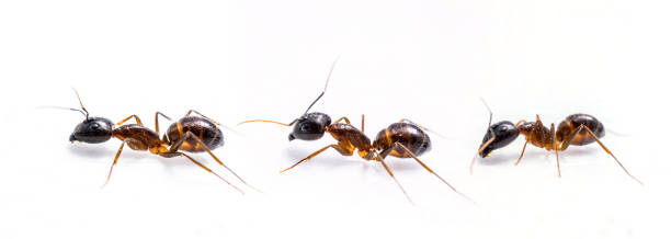 three ant on white background close up three ant on white background ant stock pictures, royalty-free photos & images