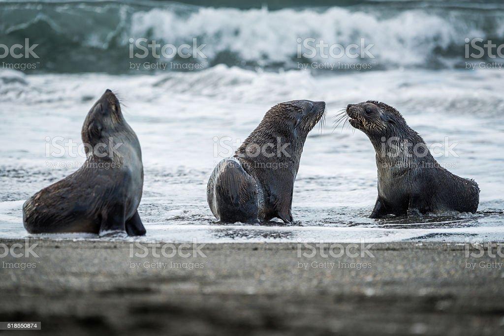 Three Antarctic fur seals with surf behind stock photo