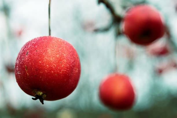 Three apples on a branch in the late autumn stock photo