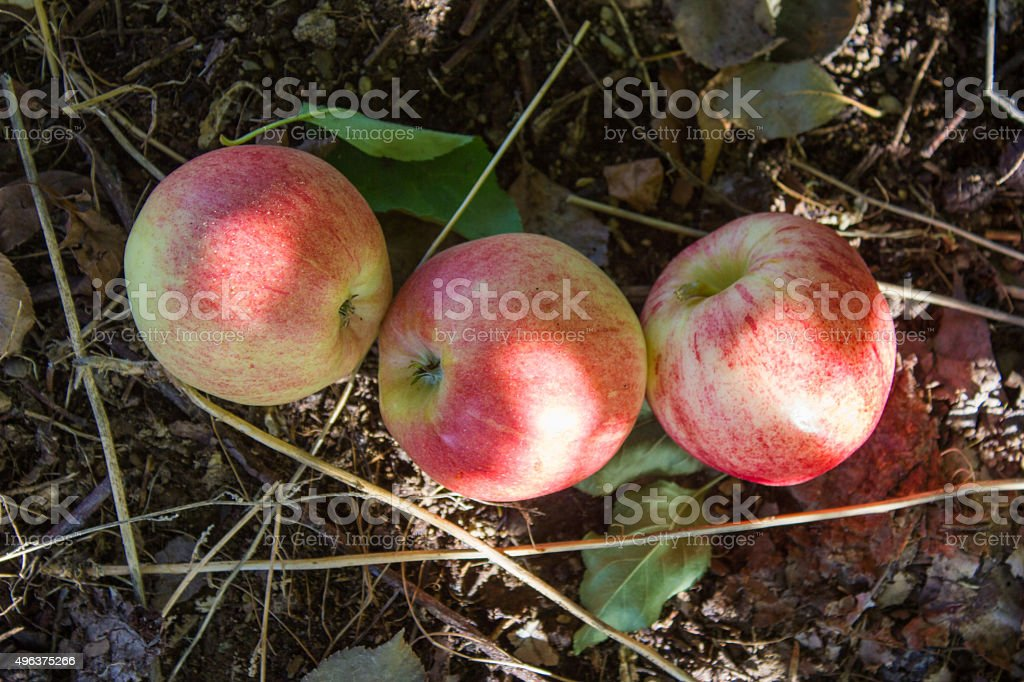 Three Apples on the Ground royalty-free stock photo
