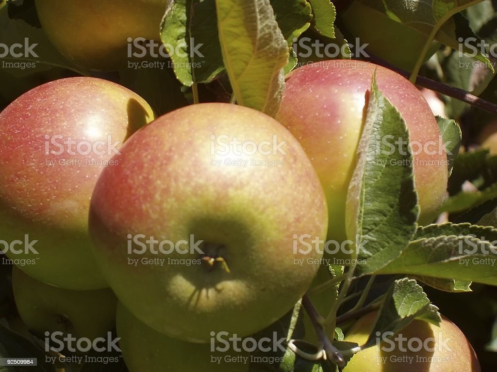 Three Apples ready for picking royalty-free stock photo