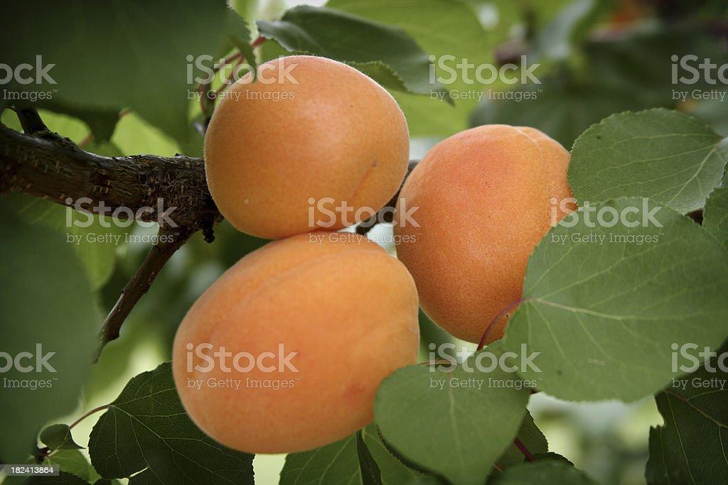 Three Apricots royalty-free stock photo