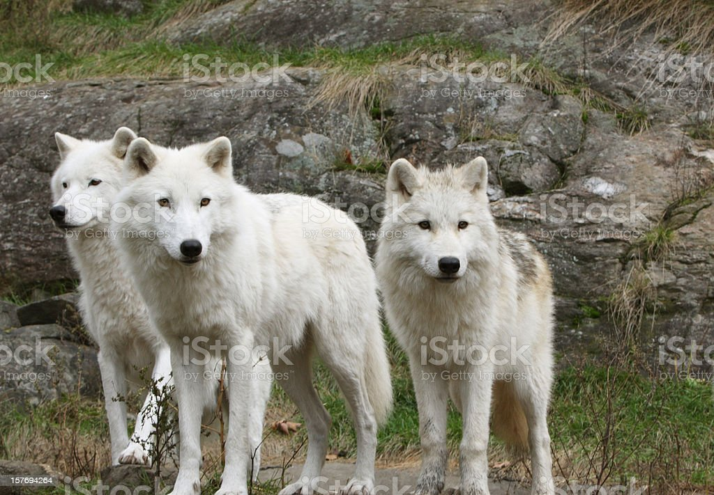 Three Arctic Wolves stock photo