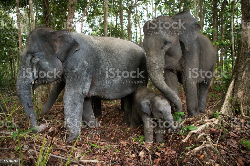 Three Asian elephants in the jungle. stock photo