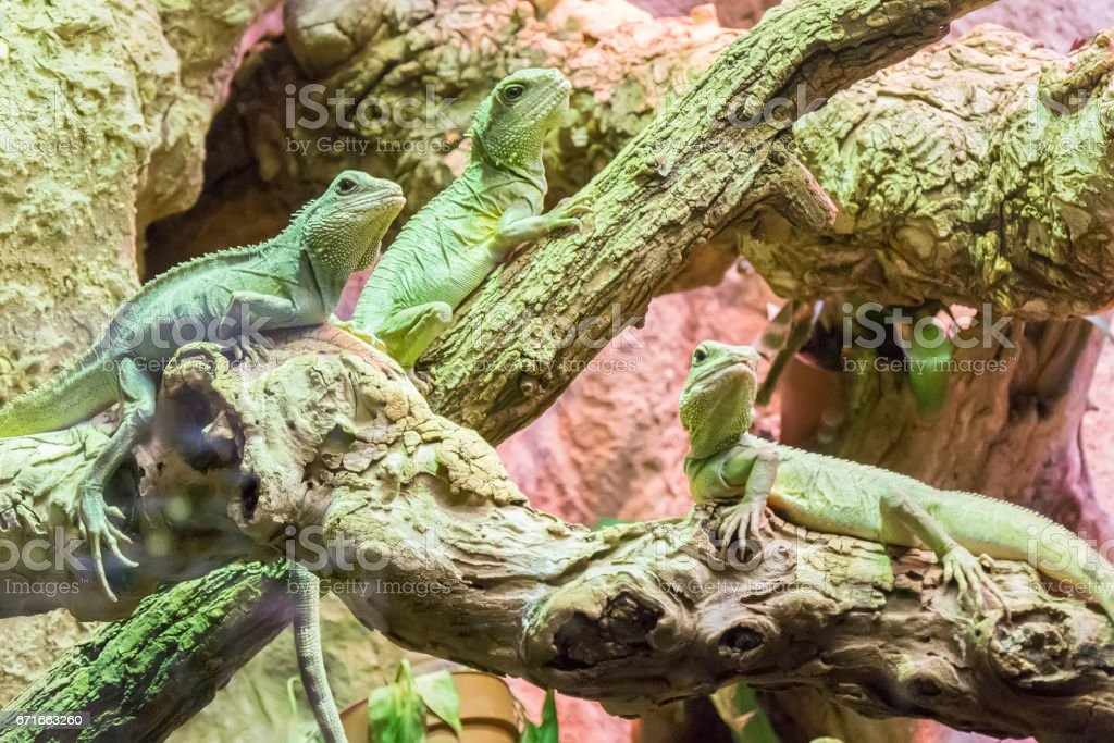 Three asian water dragon staying still in branches stock photo