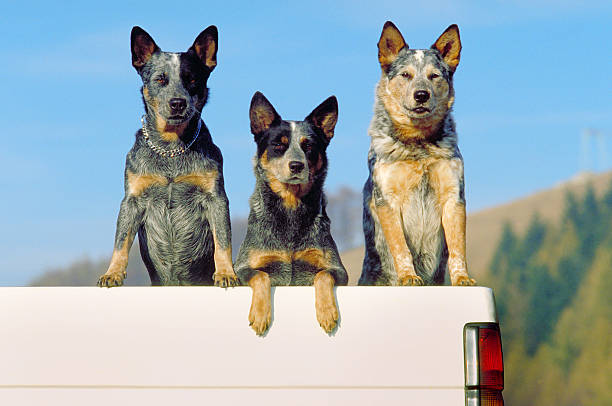 Three australian cattle dogs on a pickup, front view stock photo