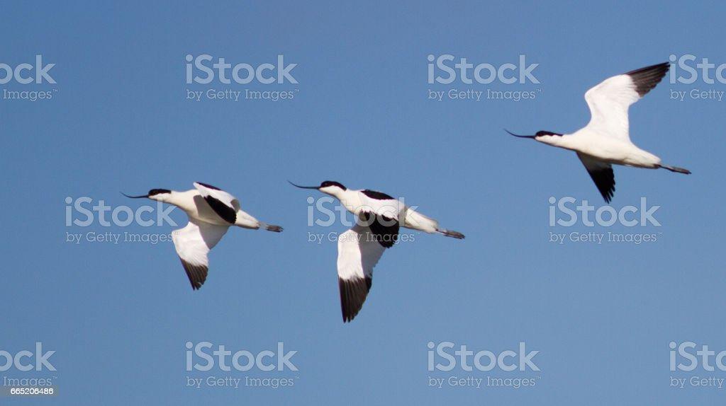 Three avocets in flight stock photo