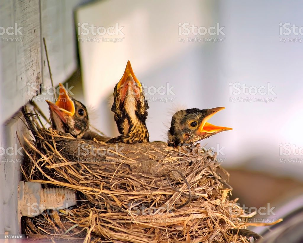 Three Baby Birds in a Nest royalty-free stock photo