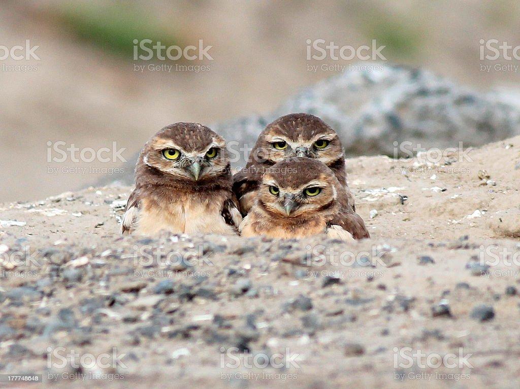 Three Baby Burrowing Owls royalty-free stock photo