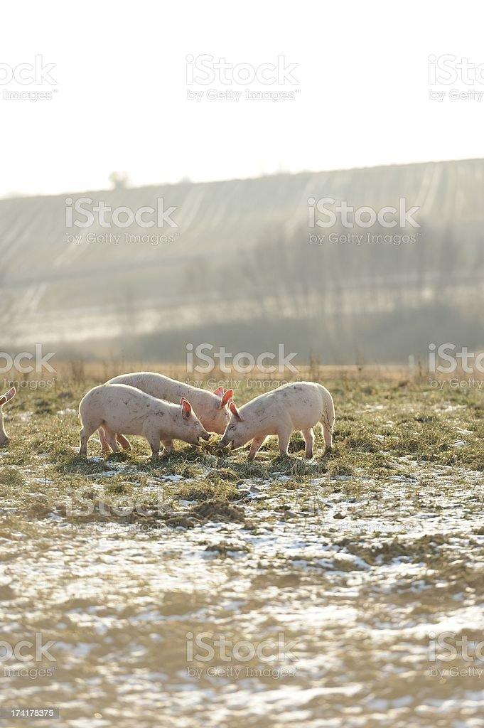 Three baby free range organic pigs in snow and grass stock photo