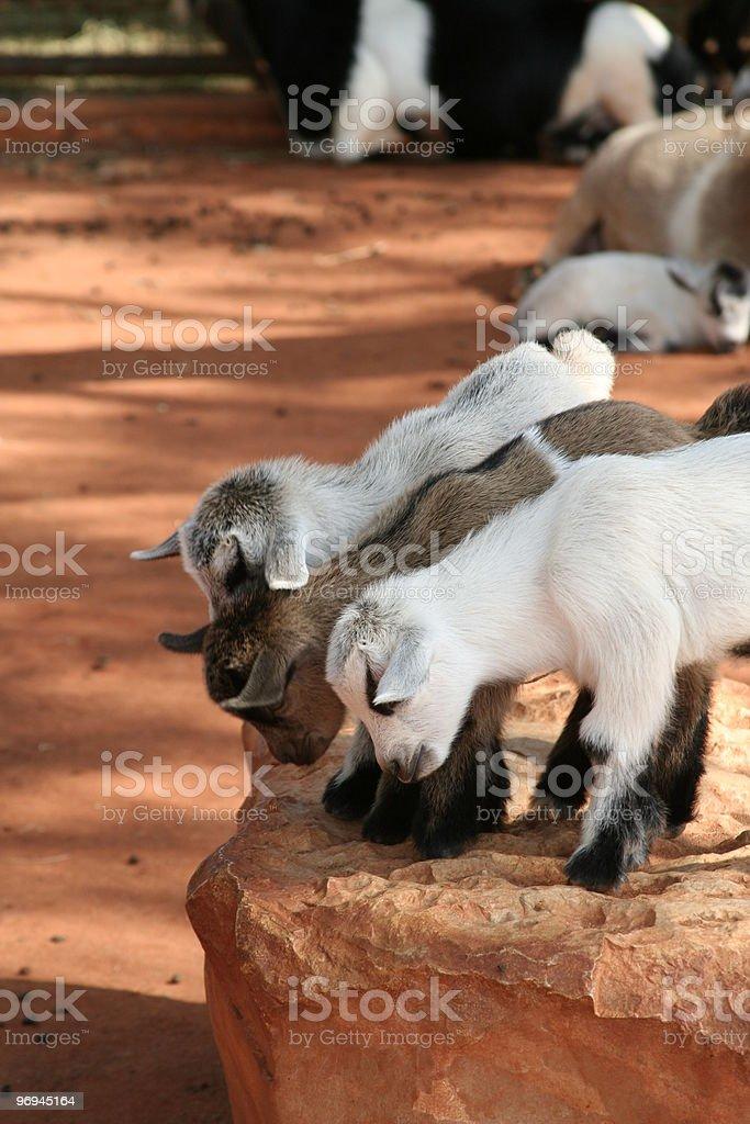 Three Baby Goats royalty-free stock photo