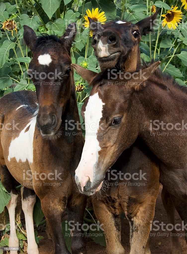 Three Baby Horses Stock Photo Download Image Now Istock