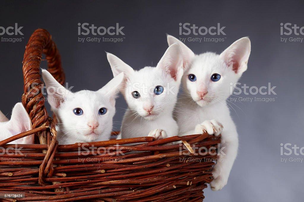 Three baby kitten (white oriental shorthair pure bred cats) - foto de stock