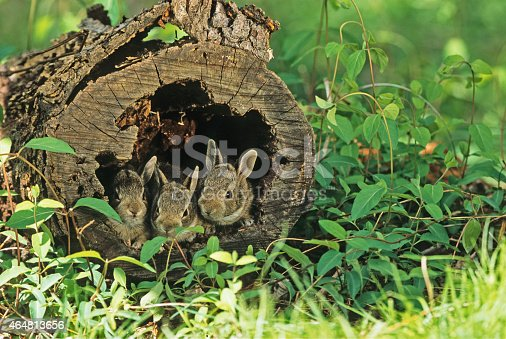 Eastern Cottontail Rabbits, juveniles sitting in a hollow log