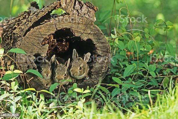 Three baby rabbits picture id464813656?b=1&k=6&m=464813656&s=612x612&h=u0odlntijqxguzul7x2munnrkhyons7x 0ga yulgti=