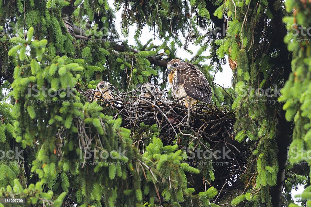 Three Baby Red-tailed Hawks (Buteo jamaicensis) In Nest royalty-free stock photo