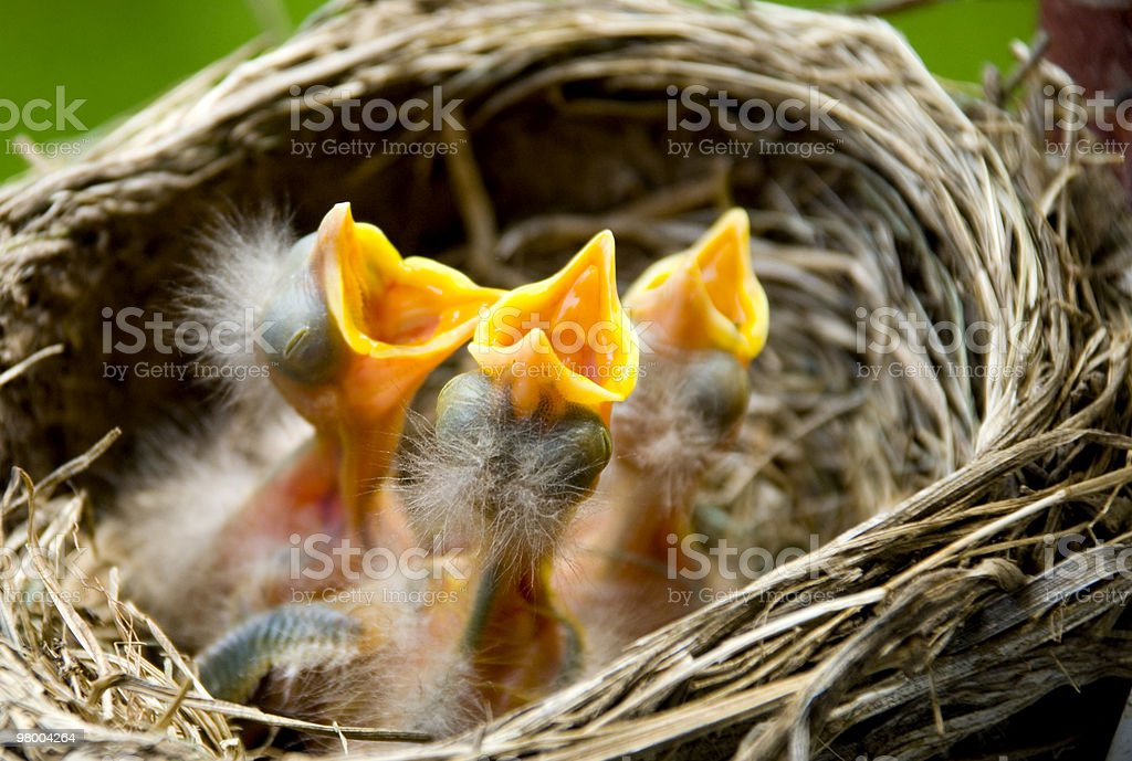Three Baby Robins in a Nest royalty-free stock photo