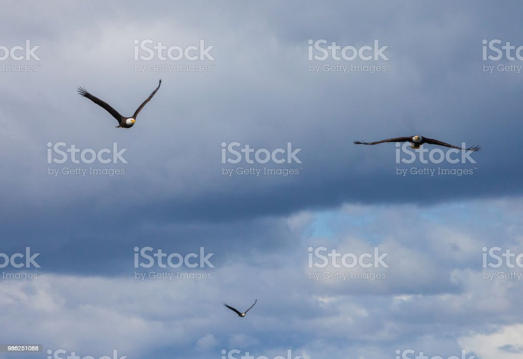 Three Bald Eagles stock photo