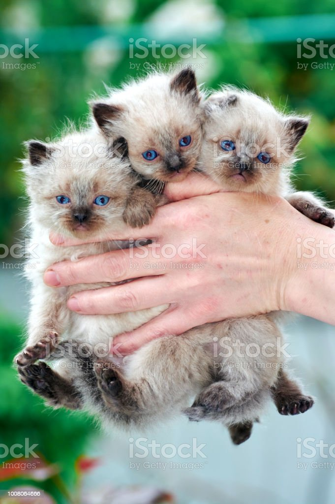 Three Balinese Kittens Are In The Hands Of The Owner Stock