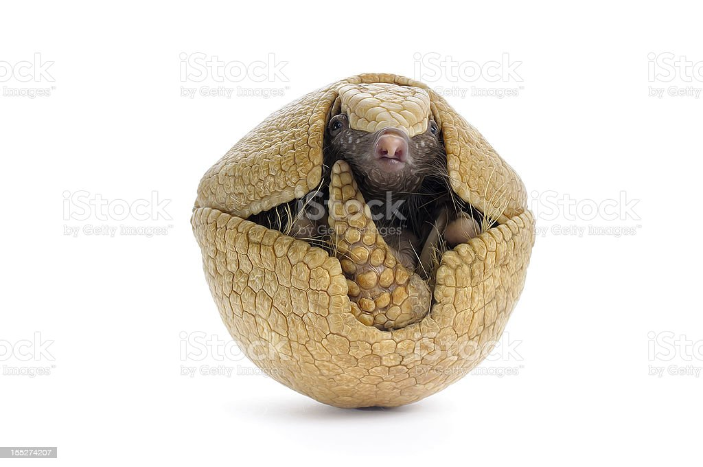 Three Banded Armadillo stock photo