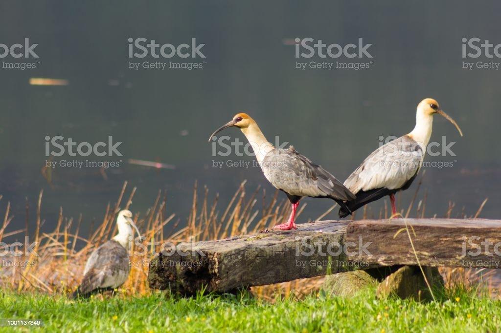 Tres pájaros de bandurria por río Cutipay en Valdivia, Chile, Sur América - foto de stock
