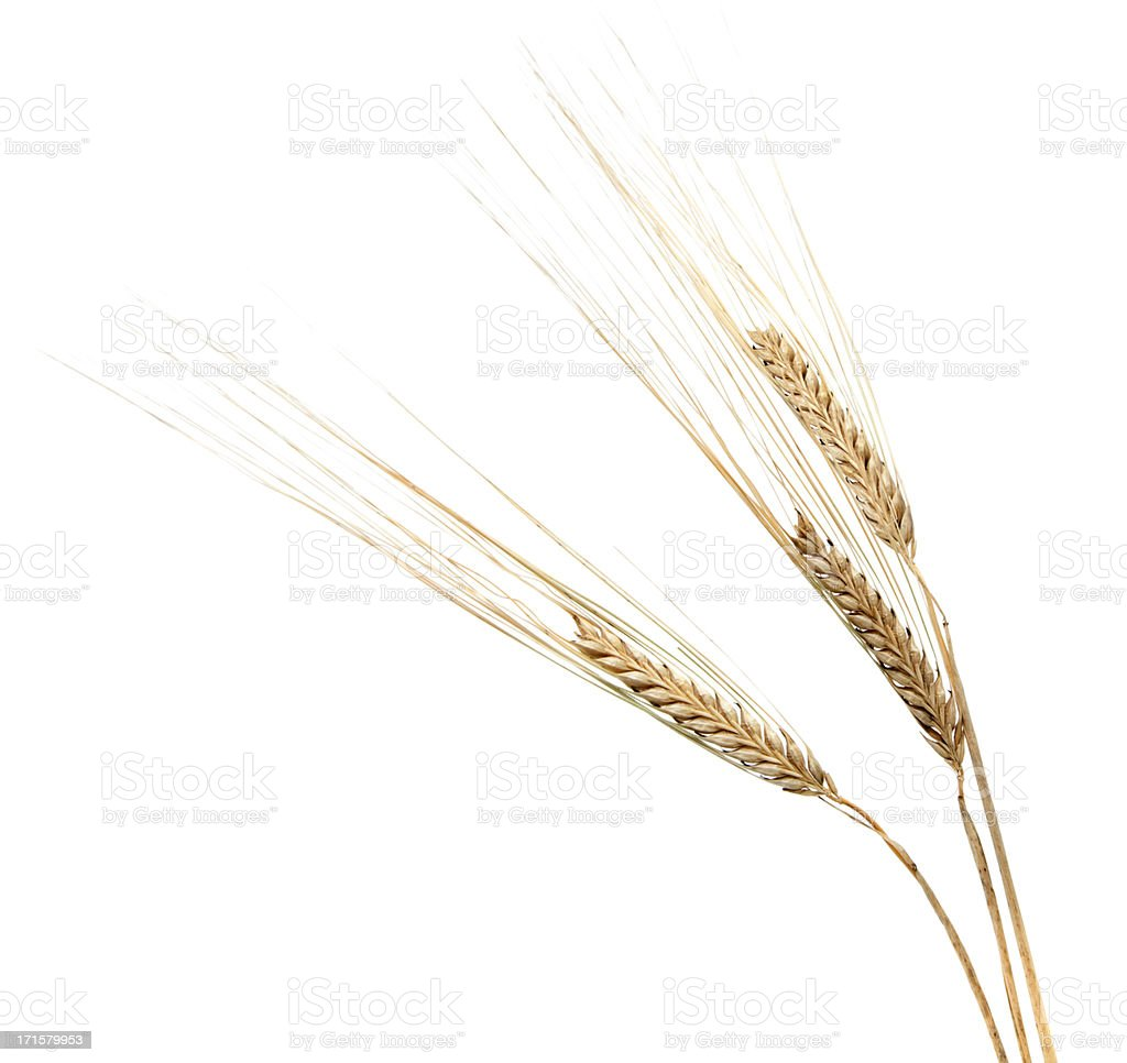 Three Barley Ears on White stock photo