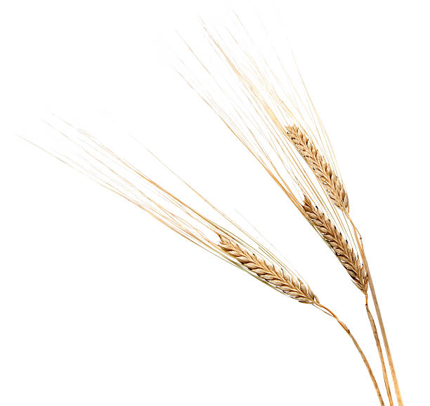 three barley ears on white - barley stock pictures, royalty-free photos & images