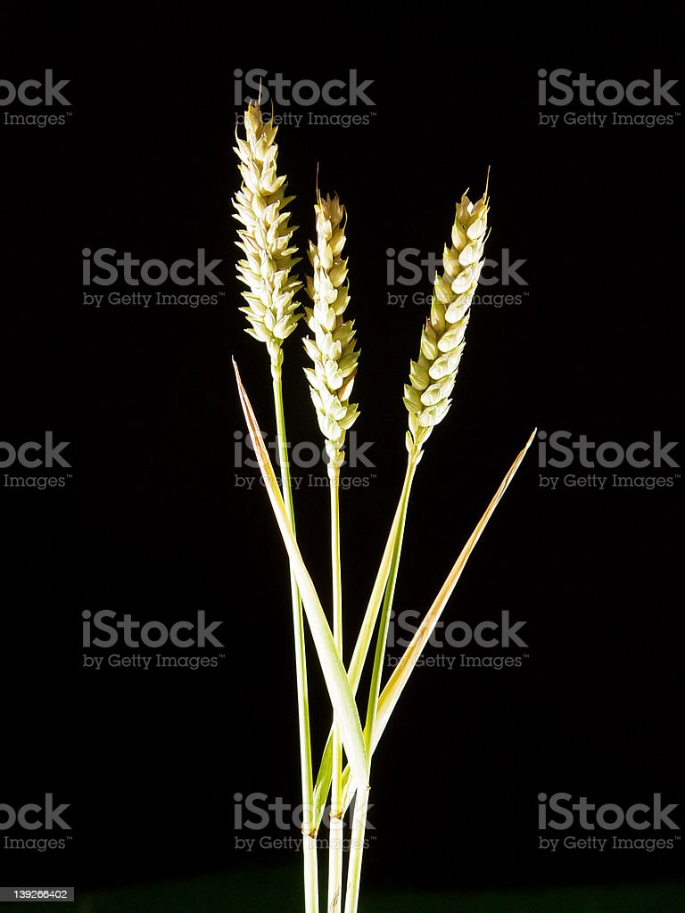 Three Barley stalks royalty-free stock photo