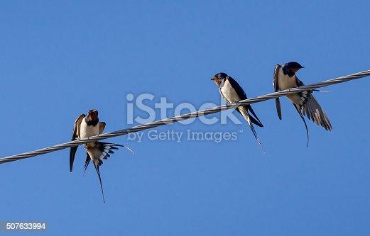 istock Three barn swallow 507633994