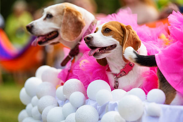 drei beagles verkleidet als bubbles & luffaschwämmen - hunde strumpfhosen stock-fotos und bilder