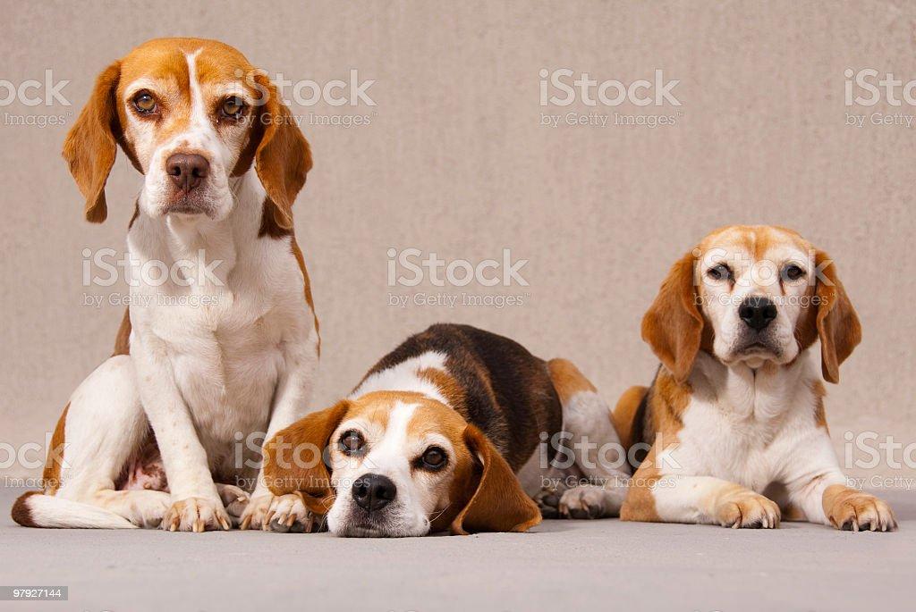 three beagles royalty-free stock photo