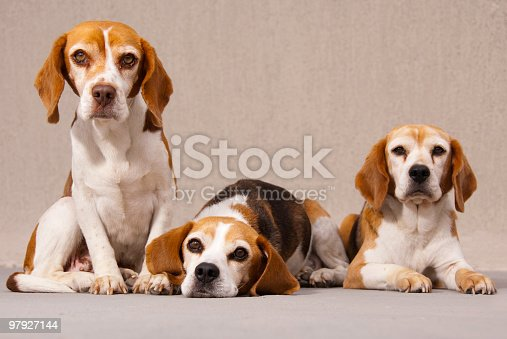 Three Beagles Stock Photo & More Pictures of Affectionate
