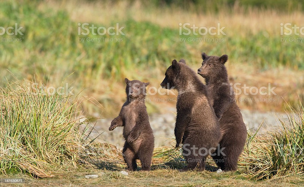 Three Bear Cubs royalty-free stock photo
