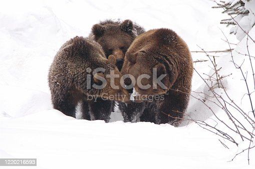 three bears in winter