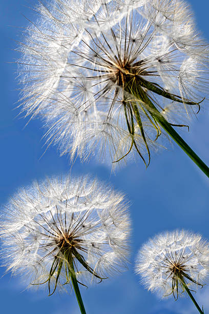 Three beautiful dandelions on blue sky. stock photo