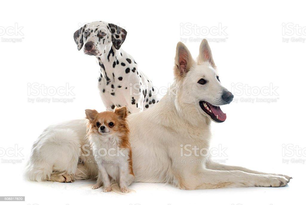 three beautiful dogs stock photo