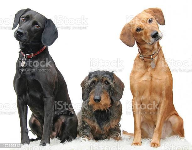 Three beautiful dogs sitting adorably in a line picture id172195312?b=1&k=6&m=172195312&s=612x612&h=xyilq lvrccx7zievztwe5xx0gdidij3qq6nwtu3fva=