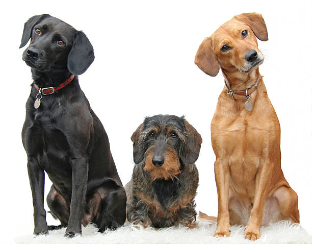 Three beautiful dogs sitting adorably in a line picture id172195312?b=1&k=6&m=172195312&s=612x612&w=0&h=0h42i9lavaed1mflmau9z4zjlc bw2pmplkssjxrfjw=
