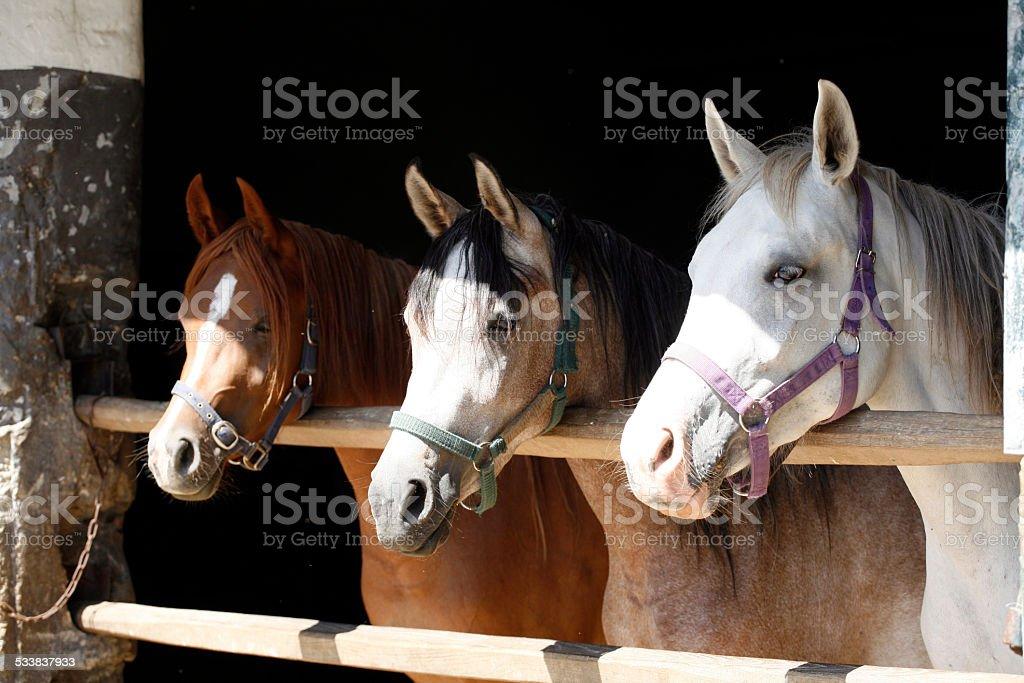 Three beautiful mares looking over barn door stock photo