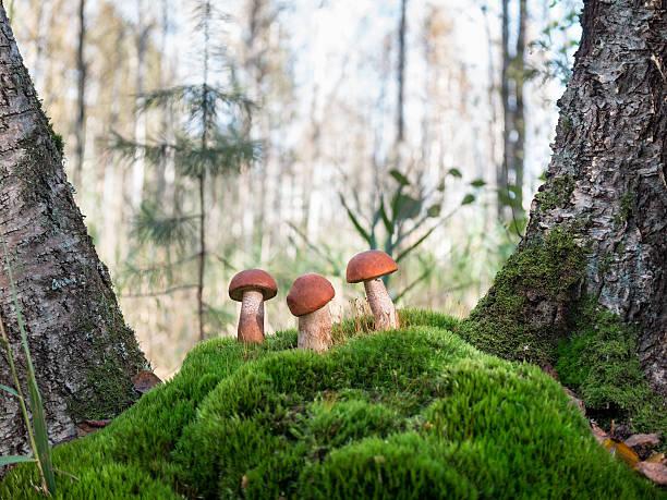 three beautiful orange-cap boletus standing on the hummock of moss - höst plocka svamp bildbanksfoton och bilder
